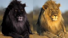 Les lions... attention aux contrefaçons
