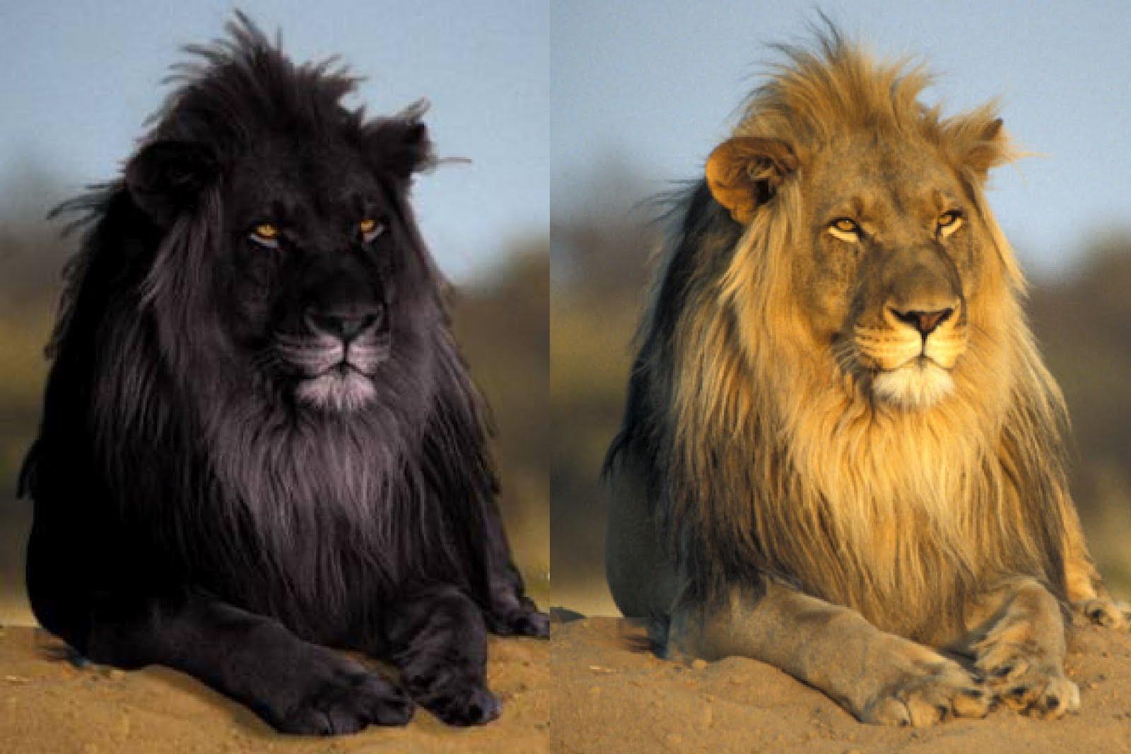 Les lions... attention aux contrefaçons