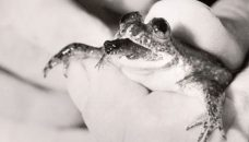 Gastric_brooding_frog_thumb
