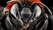 Photo d'abeille du BIML, vue sur http://ssaft.com/Blog/dotclear/index.php?post/2013/09/11/Strange-and-Funky-Animal-Photographer-BIML