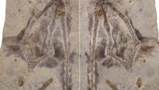 changyuraptor