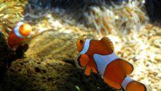 Biodiversité des poissons coralliens : l'empreinte du passé