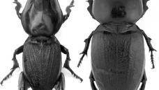 Hypocephalus armatus mâle (à gauche) et femelle (à droite)