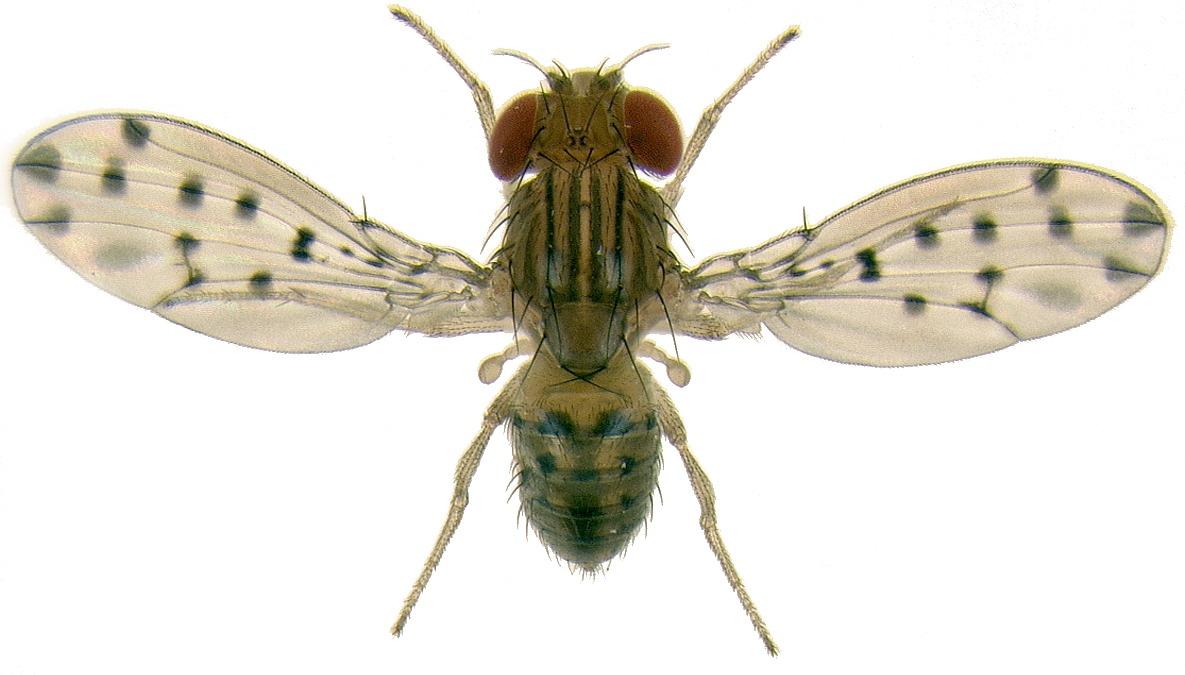 Les ailes pigmentées de Drosophila guttifera révèle un mécanisme important de l'évolution d'innovations
