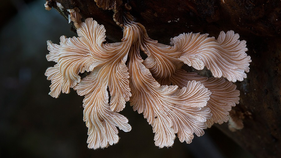 Schizophyllum commune, Steve Axford