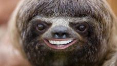 Portrait of three-toed sloth, Bradypus variegatus, Libertad, Peru