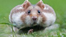 Le hamster qui veut se faire aussi gros que le bœuf