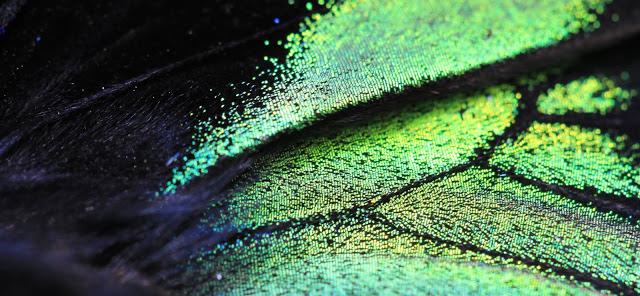 Les écailles iridescentes sur une aile de Troides brookiana