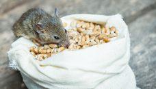 The mouse nibbles grain