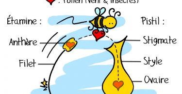 etamine-pistil-pollen