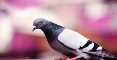 Pigeon sur une barrière